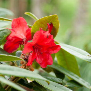 Rhododendrum Griersonianum-grp 'Vulcan's Flame'