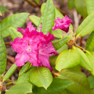 Rhododendron Catawbiense-grp 'Caractacus'
