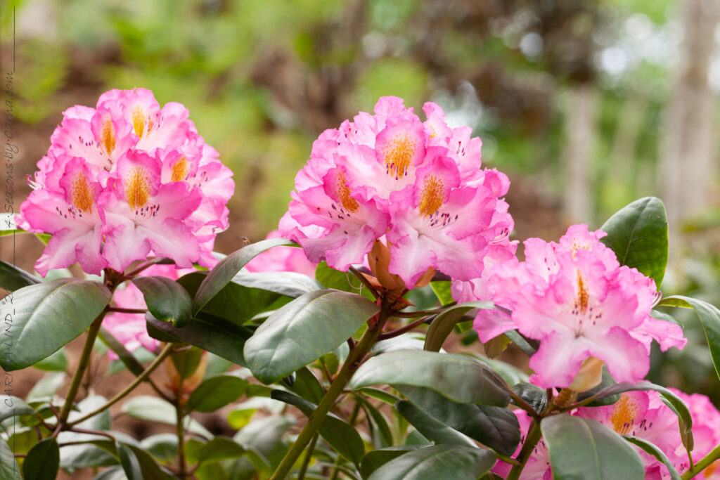 Rhododendron 'Junifee' - rododendron
