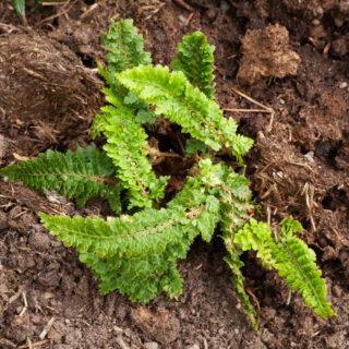 Spetsbräken - Polystichum setiferum 'Barford's Dwarf'