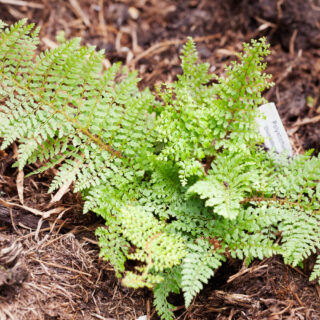 Spetsbräken - Polystichum setiferum 'Divisilobum'