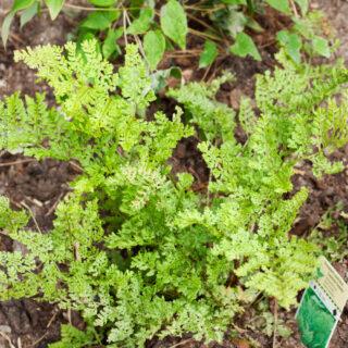 Dryopteris austriaca 'Lepidota Cristata'