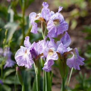 Iris sibirica 'Jennasee' - strandiris