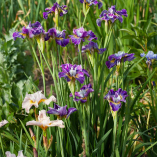 Iris sibirica 'Charming Billy', strandiris