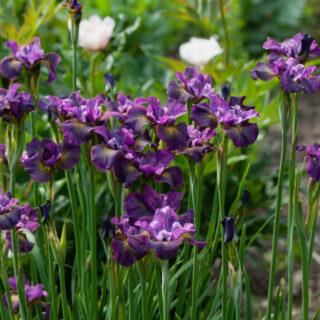 Iris sibirica 'Gone Plummin'