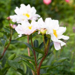 Paeonia lactiflora - species seedling