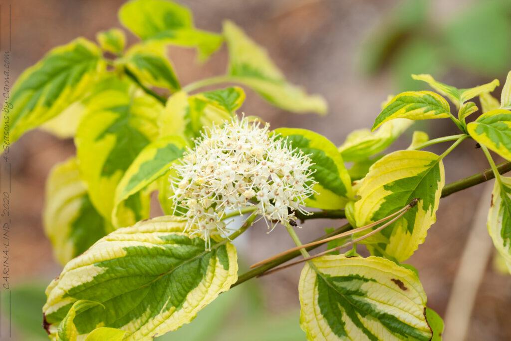 Cornus alternifolia 'Golden Shadow's'