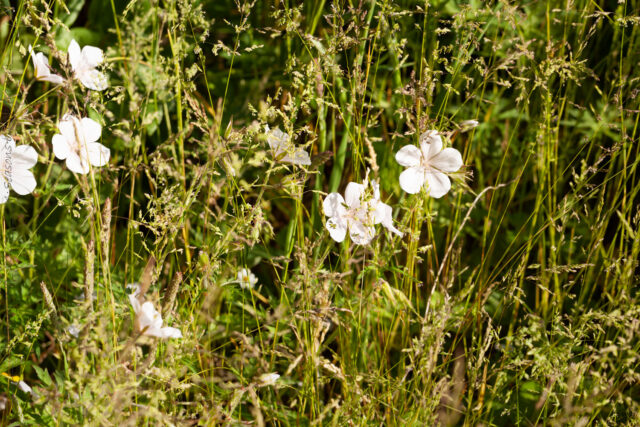 Midsommar - Geranium clarkei 'Kashmir White'