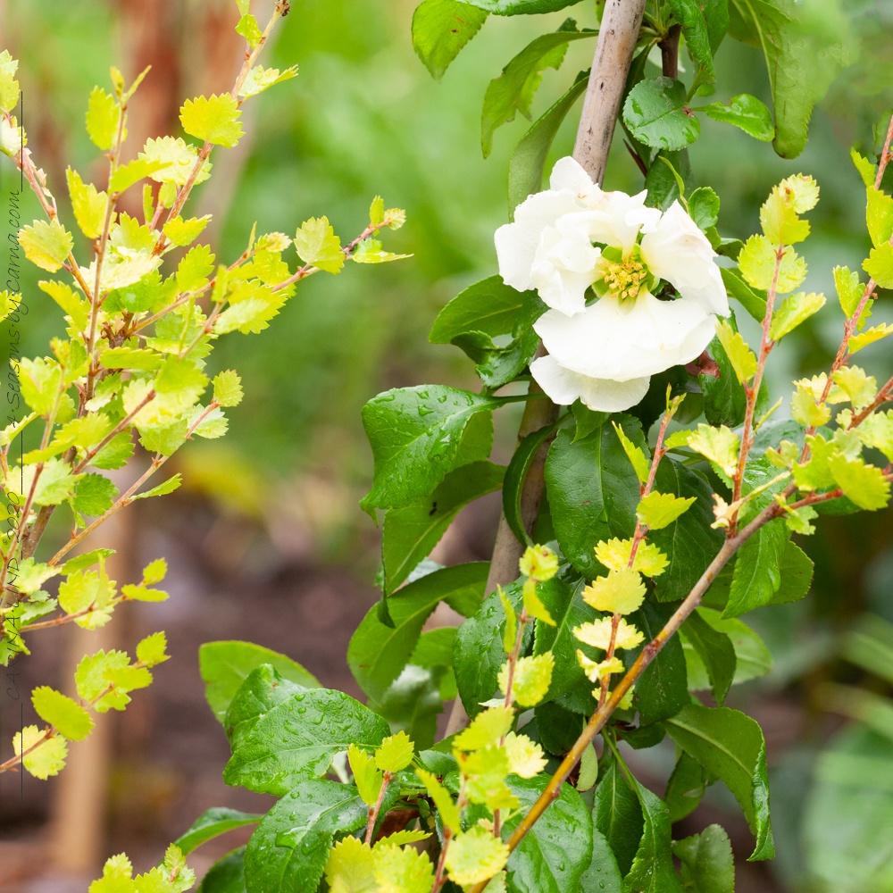 Chaenomeles speciosa 'Kinshiden' - stor rosenkvitten
