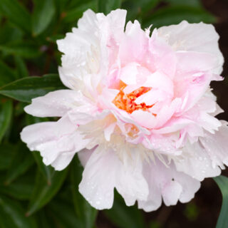 Paeonia lactiflora 'Orange Lace'