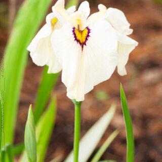 pseudata hybrider - Iris pseudata 'Okagami'