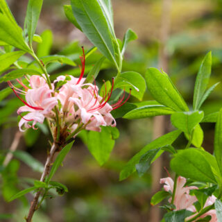 Rhododendron viscosum 'Pink and Sweet'