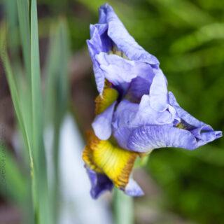 Iris sibirica 'Petalicious'