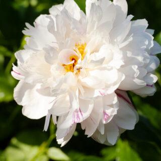 Paeonia lactiflora 'Candy Stripe'