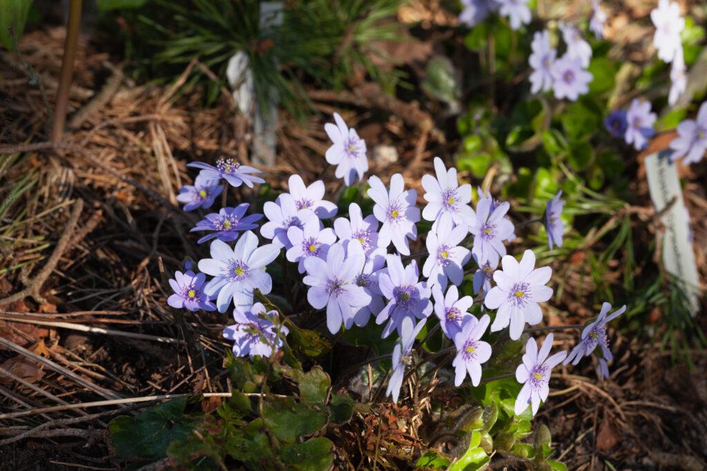 Videungar och Hepatica transsilvanica 'Buis' - ungersk blåsippa