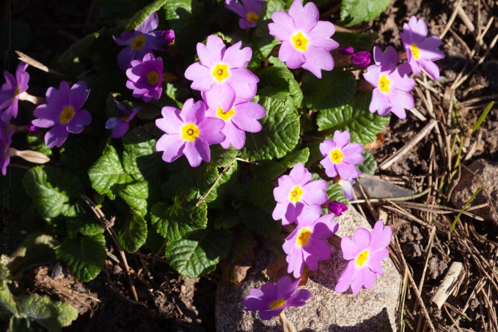 Mormorsväxterna - Primula vulgaris kultivar