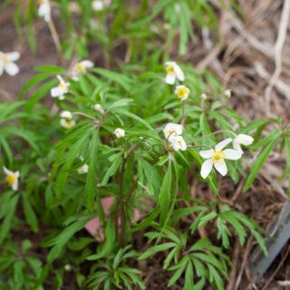 Anemone caerulea - tvillingsippa
