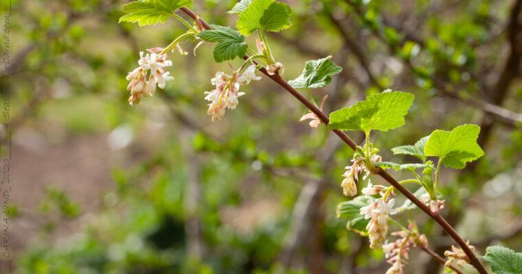 Vinbärsblomning som jag älskar att titta på
