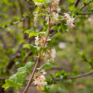 Ribes sanguineum 'White Icicle' - rosenrips