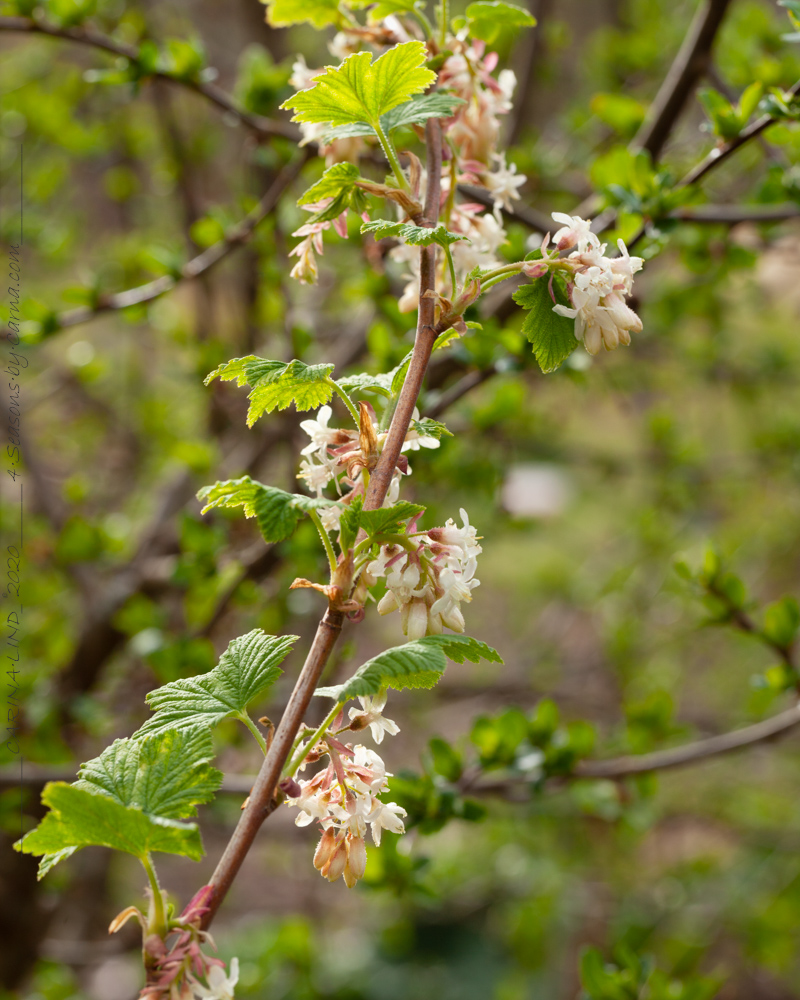Ribes sanguineum 'White Icicle' - rosenrips
