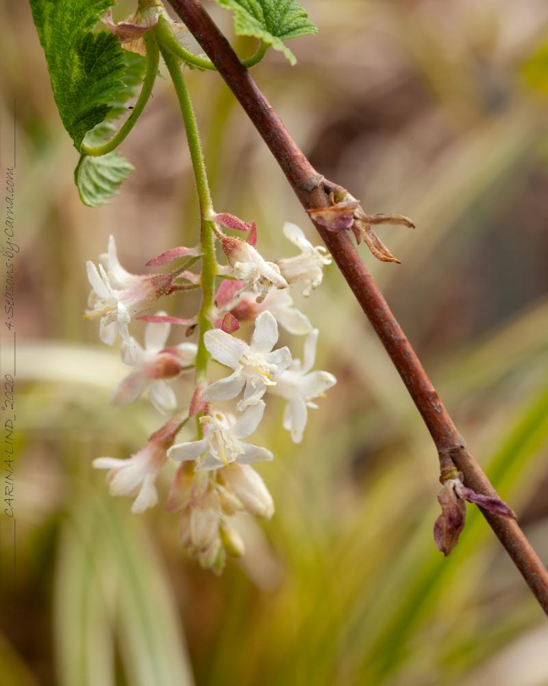 Vinbärsblomning - Ribes sanguineum 'White Icicle' - rosenrips
