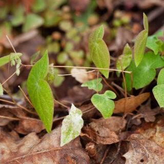 Epimedium diphyllum 'Variegatum' - sockblomma