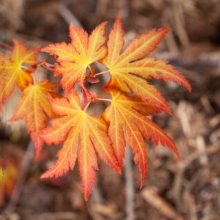 Acer palmatum 'Orange Dream'