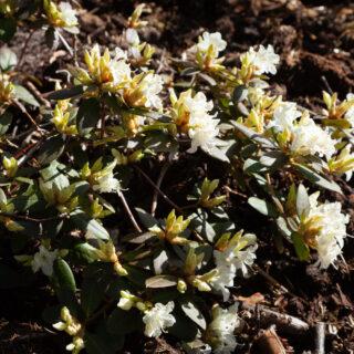 Trädgårdsskådning - Rhododendron 'Crane'