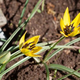 Tulipa aucheriana x hageri