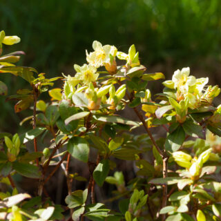 Rhododendron keiskei-grp 'Princess Anne''