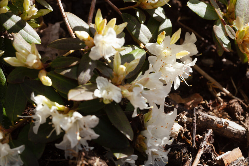 Växthärdighet - Rhododendron 'Crane'