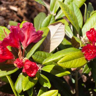 Rhododendron 'Weinlese'