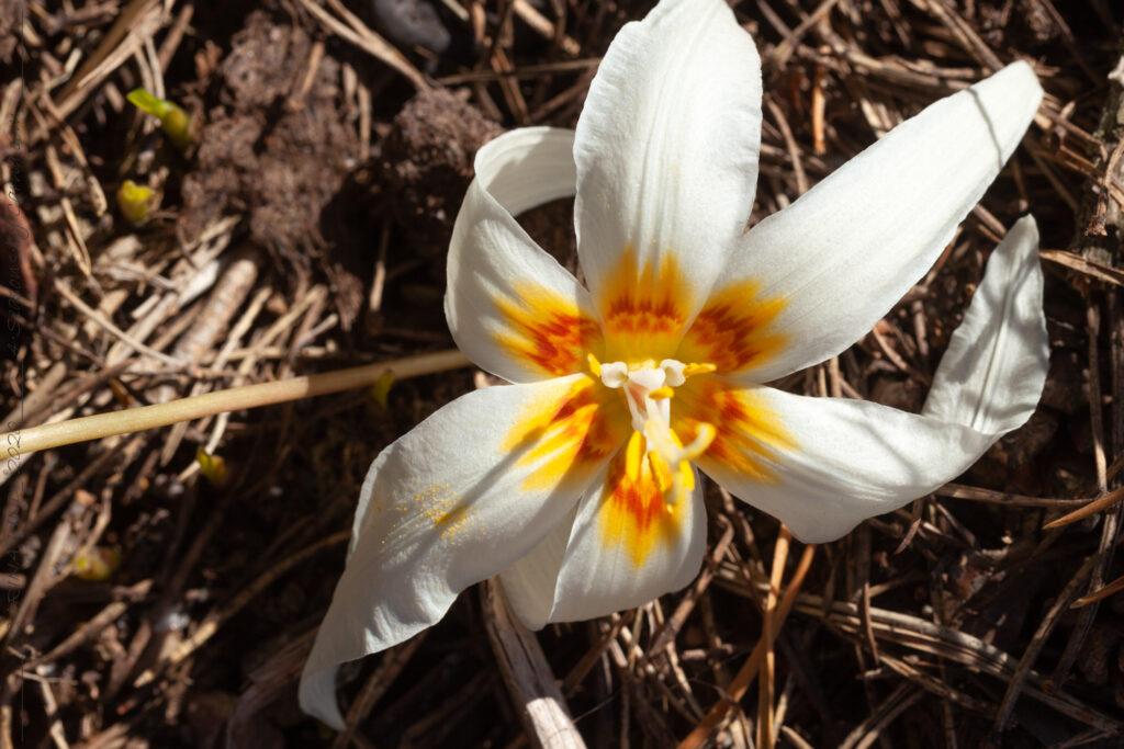 Favorisering - Erythronium revolutum seedling