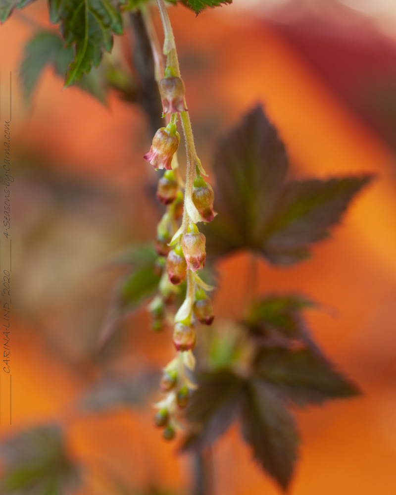 Vinbärsblomning - Ribes longiracemosa -