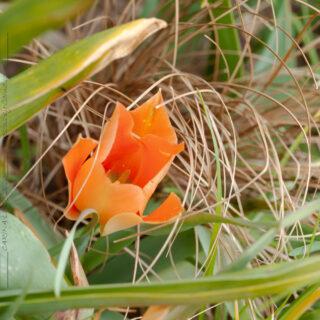 Tulipa 'Salmon Gem'