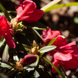 Trädgårdsskådning - Rhododendron 'Quail'