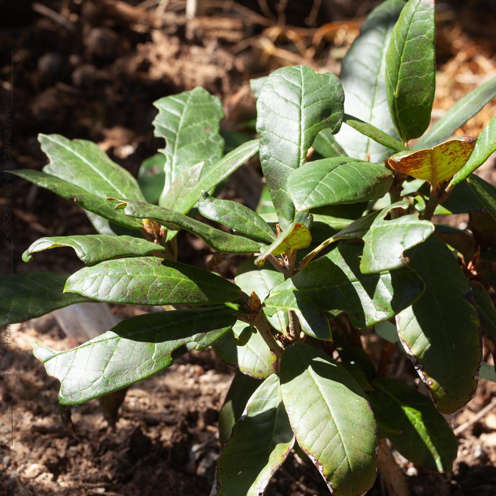 Zonknäcka - Rhododendron macabeanum Nape052