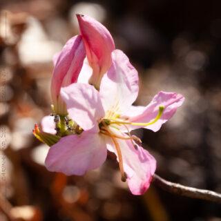 Rhododendron vaseyi - fjärilsazalea