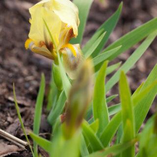 Iris reichenbackii