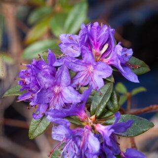 Rhododendron Lapponicum-grp 'Gletschernacht'