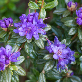 Rhododendron Lapponicum-grp 'Sacko'
