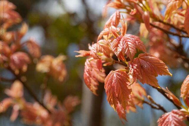 Trädflytt - Acer pseudoplatanus 'Brilliantissimum'
