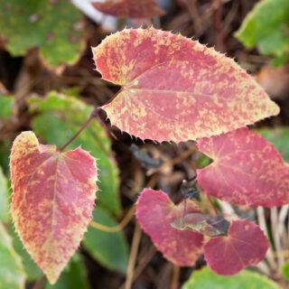 Epimedium pubescens Shanxii form