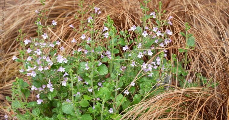 Sensommarblommande växter som älskar sol och torka