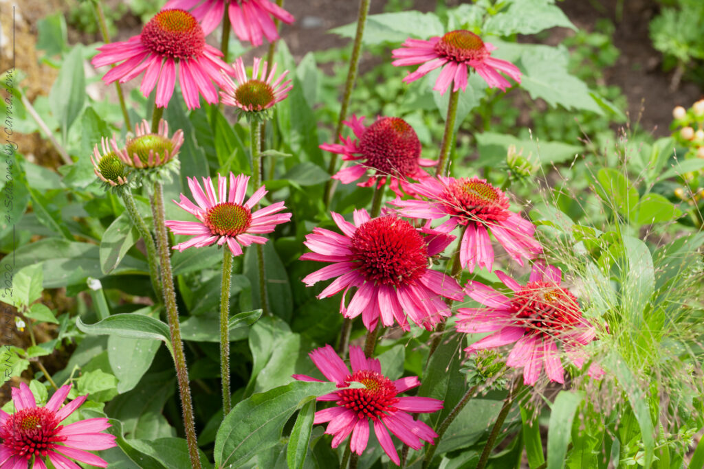 Echinacea 'Delicious Candy' - solhatt