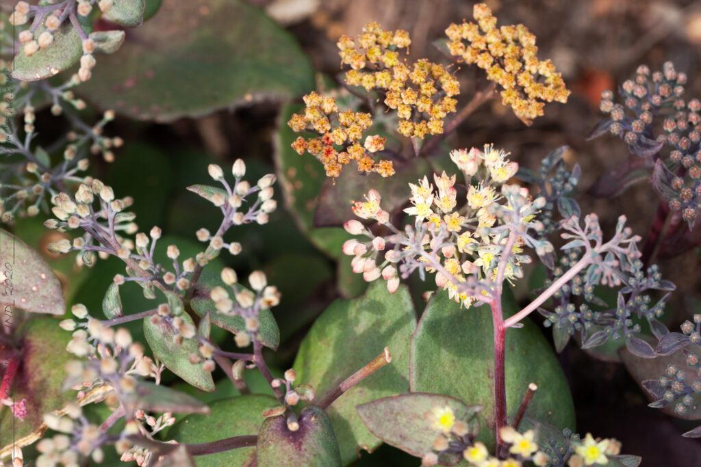 Sensommarblommande - Hylotelephium 'Yellow Xenox'- kärleksört