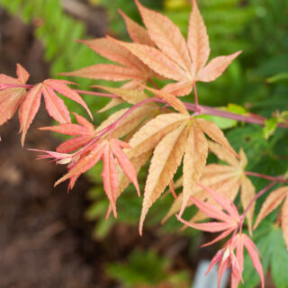 Acer palmatum 'Atsugama'