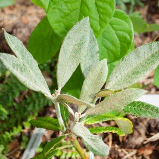 Rhododendron denudatum