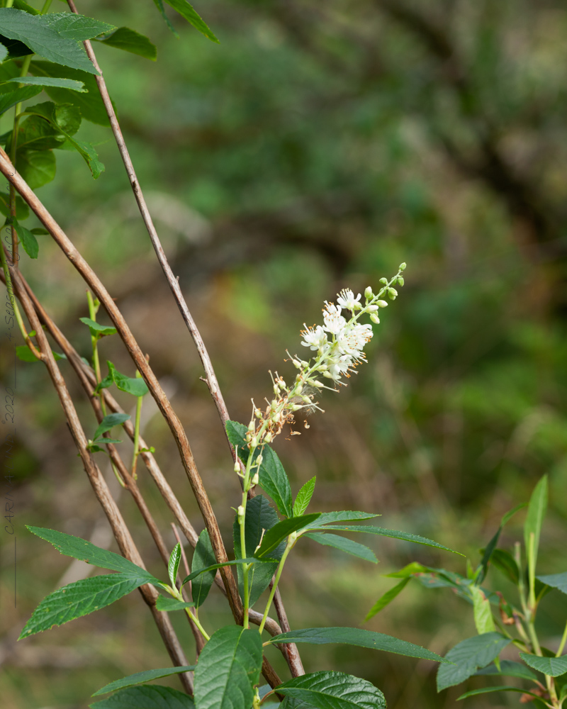 Sensommardoft - Clethra fargesii, stor konvaljbuske