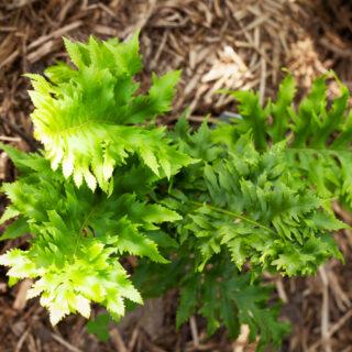 Polypodium australe 'Cambricum'